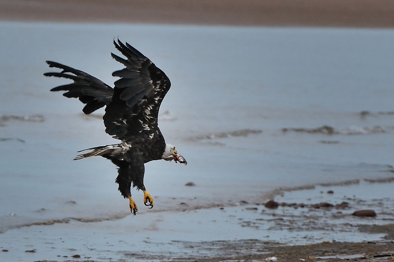 Bald Eagle, PEI.