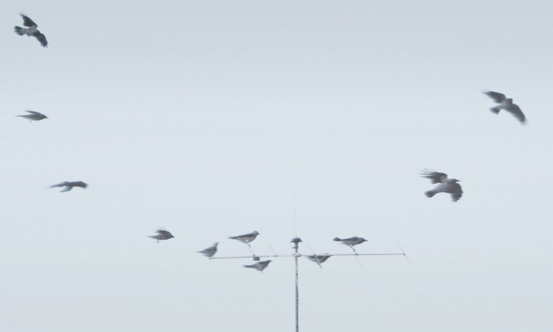 A flock of crows in a Holding Pattern on a windy day...