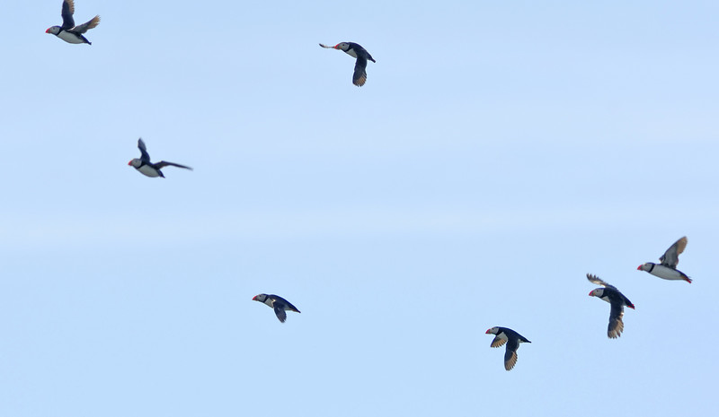 Puffins flyin a loose formation