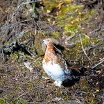 Changing Ptarmigan