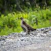 Roadside Grouse