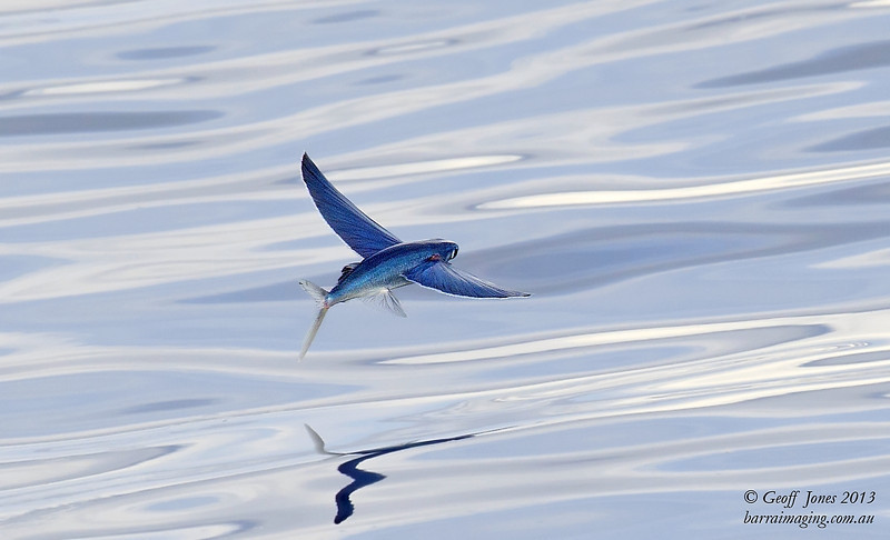 Electric Blue Flying Fish