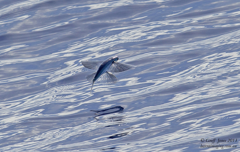 Smoke Winged Flying Fish