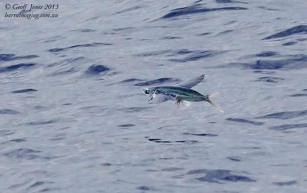Green Torpedo Flying Fish