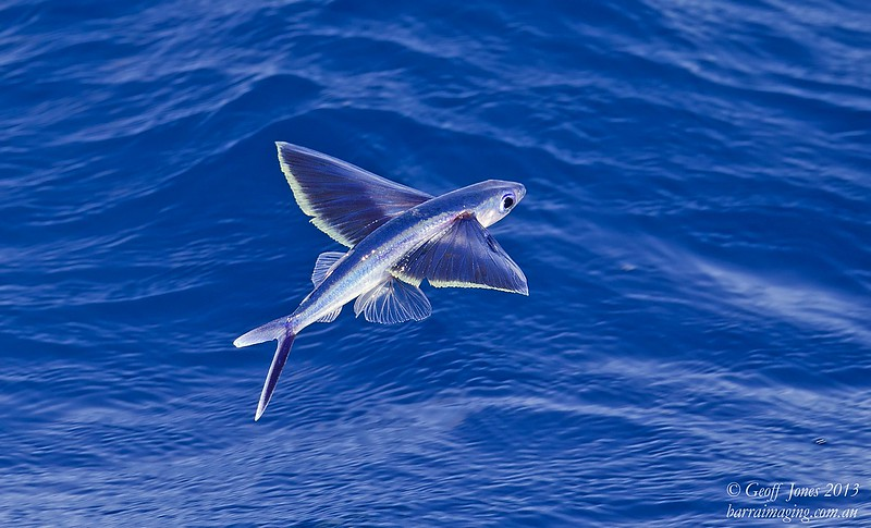 Pale Yellow-tipped Flying Fish