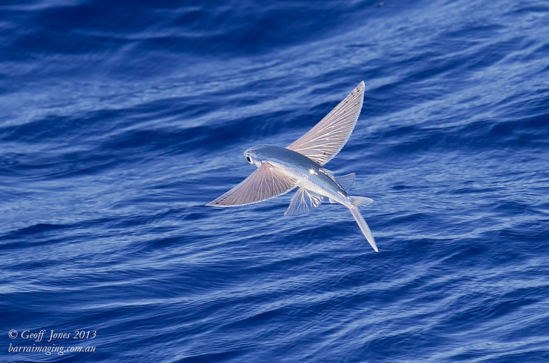 Least-spotted Electric Blue Flying Fish
