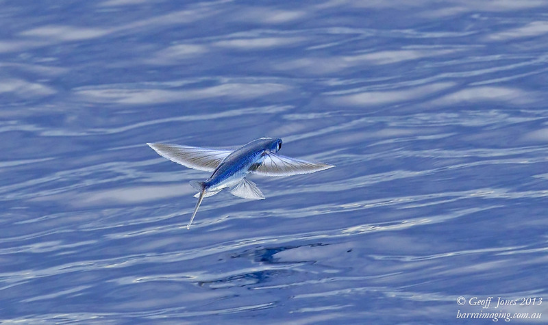 Blue Shimmer Flying Fish