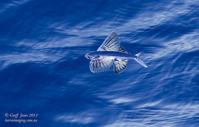 Itsy Bitsy Flying Fish