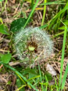 Dandelion flying seeds