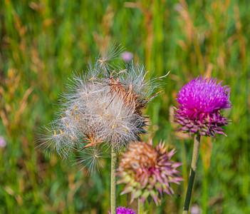 Thistle, purple flower, flying seeds