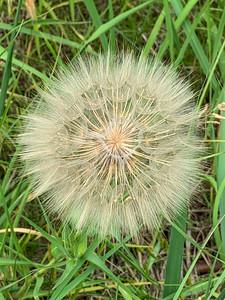 Tragopogon Dubius,  Tragopogon, goatsbeard or salsify flying seeds,