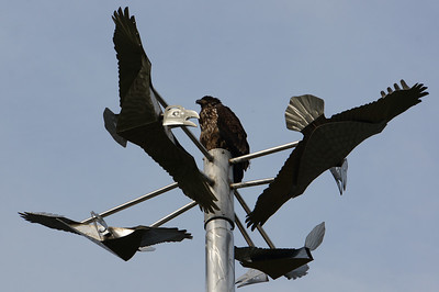 Juvenile Bald Eagle on a statue of eagles