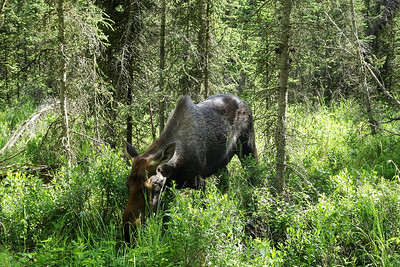Moose by the trail