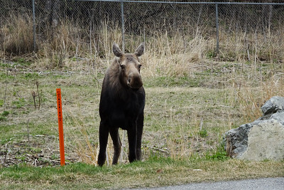 friendly moose by the trail