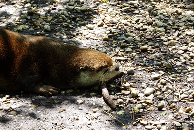 Sleepy otters