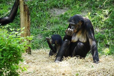 Bonobo family