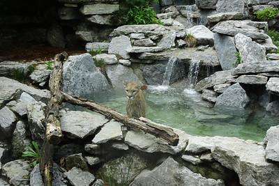 Cougar taking a bath