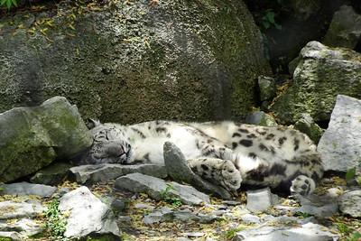 Snow Leopard siesta
