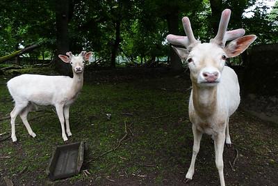 Fallow deer/Damwild