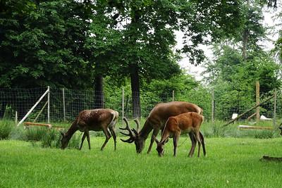 Red deer/Rotwild