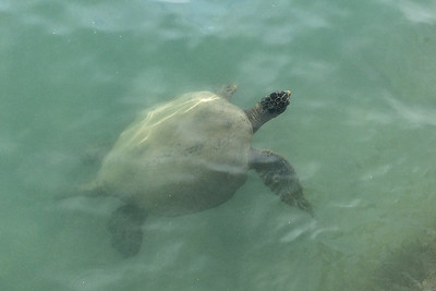 big Sea Turtle by the seawall