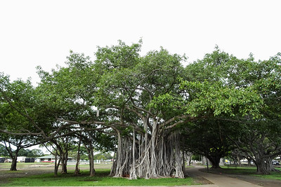 Trees in Ala Moana Park