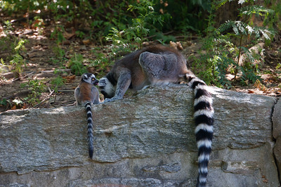 Ring-tailed lemur and offspring