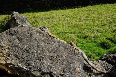 sunbathing Iguana