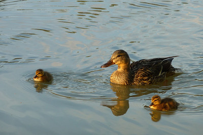 Ducklings in Calgary