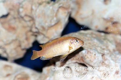 Tropical African Cichlid Fish