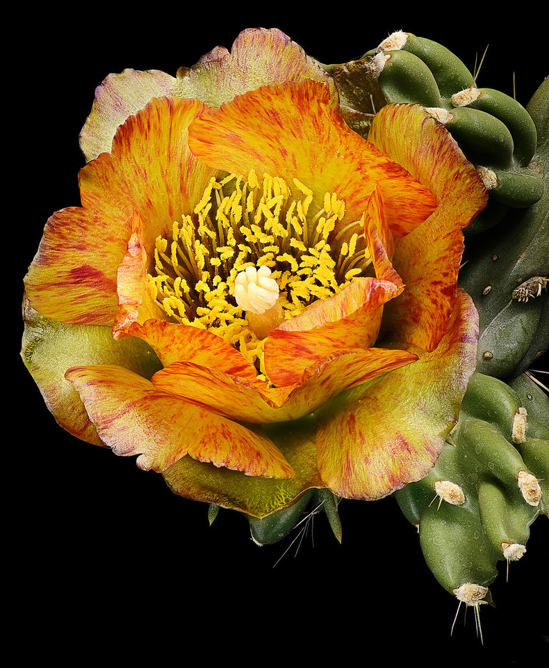 Variegated Cylindropuntia - Generated from Method C from Helicon Focus