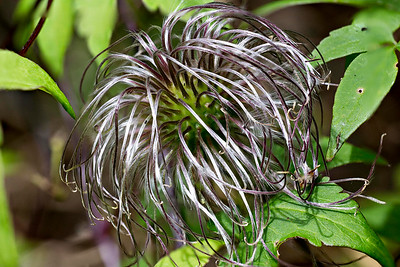 Clematis Frances Rivas Seed Head