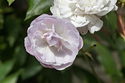Rosa Noisette Carnée