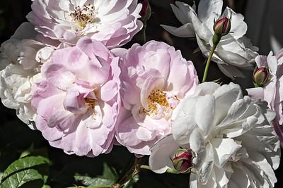 Rosa Noisette Carnée : two lilac blooms