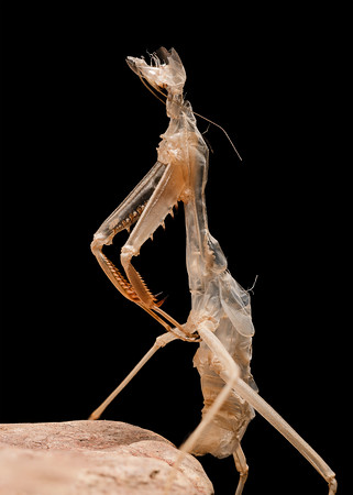 Mantis Exuvia. 27 image stack.