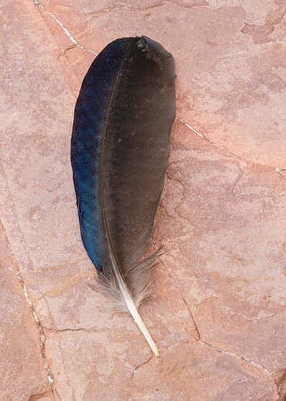 Yellow-billed Magpie feather, Sacramento Co. CA.