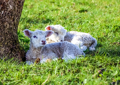 Forest Lambs