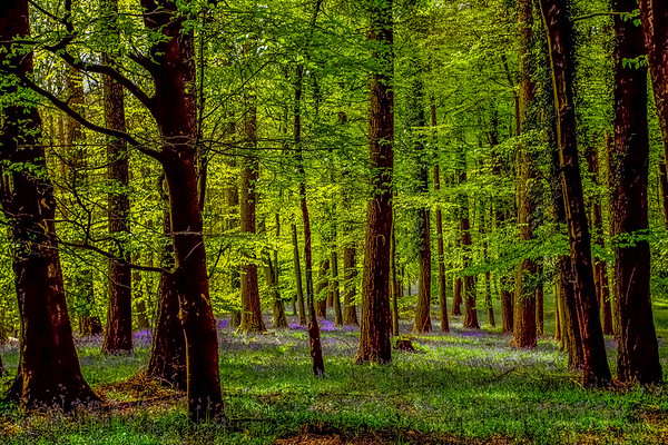 Bluebells at Bradley Hill Woods