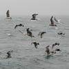 9/15/2008<br /> <br /> Gulls get krill of Wilson's Beach breakwater