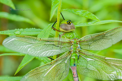 Male green darner dragonfly, detail.