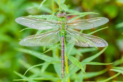 Male green darner dragonfly.