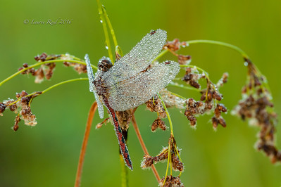 Dew-covered meadowhawk dragonfly.