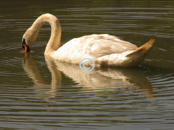 A Swan Kissing Its Reflection