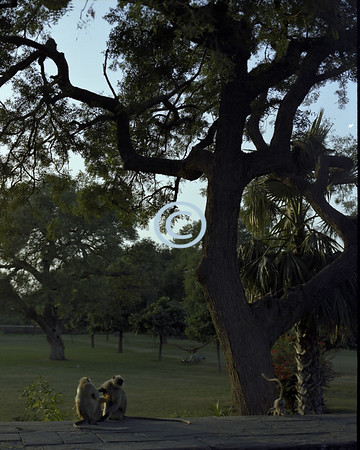 Monkeys, Agra, India