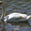 Swan, Shadow Lake, New Jersey