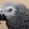 Lola, African Congo Gray Parrot