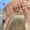Giraffe peeing