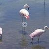 Flamingos, Florida