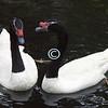 Black & White Swans