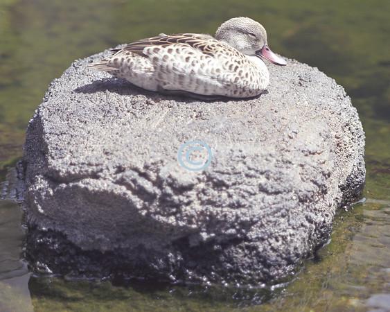 Donal Duck